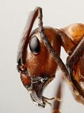 Ant Head Showing the Compound Eye  Antenna  and Mouthparts