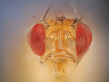 Wild Fruit Fly Face and Red Compound Eyes (Drosophila Melanogaster)