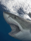 Great White Shark Head (Carcharodon Carcharias)  Guadalupe Island  Mexico  Eastern Pacific Ocean