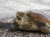 Green Sea Turtle (Chelonia Mydas)  Galapagos