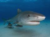 Tiger Sharks (Galeocerdo Cuvier)  Tiger Beach  Freeport  Bahamas  Atlantic Ocean