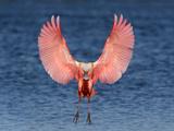 Roseate Spoonbill (Platalea Ajaja) Landing  Florida  USA