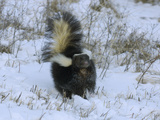 Striped Skunk (Mephitis Mephitis) with Tail Raised in a Snowy Field  USA