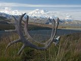 Shed Caribou Antlers on the Tundra in Front of Mt Mckinley  Denali National Park  Alaska  USA