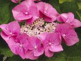 Lacecap Hydrangea (Hydrangea Macrophylla Normalis)  Blaumiese Variety