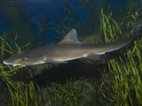Grey Smoothhound Shark (Mustelus Californicus)  La Jolla  California  USA  Aquarium Specimen