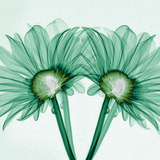 X-Ray of Gerber Daisies