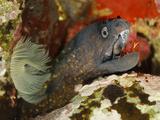 Mediterranean Moray (Muraenhelena) Being Cleaned by a Monaco Shrimp (Lysmata Seticaudata)