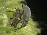 Hollyhock Weevil Male and Female Pair Mating (Apion Longirostre)  Family Brentidae  New Hampshire