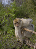 Barbary Macaque (Macaca Sylvanus)  Captive