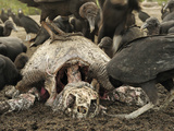 Black Vultures (Coragyps Atratus) Scavenging on Carcass of an Olive Ridley Sea Turtle