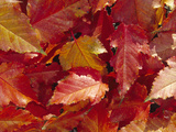 Fall Leaves of the Red-Stemmed Maple (Acer Caudatifolium)