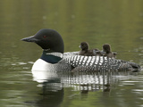 Common Loon with Chicks Riding on its Back (Gavia Immer)