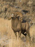 Bighorn Sheep (Ovis Canadensis)  Ram Displaying  Montana  USA