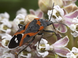 The Bright Colors of the Milkweed Bug (Lygaeus Kalmii) Advertise its Distastefulness to Predators