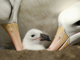 Black-Browed Albatross Chick Being Tended in the Nest by Two Adults