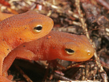 Red Eft Heads (Notophthalmus Viridescens)  the Terrestrial Phase of the Eastern Newt  Eastern USA