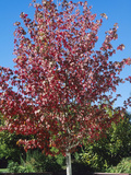 Sweetgum or Redgum (Liquidambar Styraciflua) in Autumn