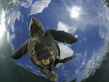 A Young Olive Ridley Sea Turtle (Lepidochelys Olivacea) Swimming Away from the Beach