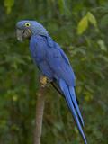 Hyacinth Macaw (Anodorhynchus Hyacinthinus)  Captive
