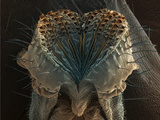 Mouthparts or Proboscis of the Fruit Fly (Drosophila Melanogaster)  SEM