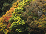 The Autumn Colors of Assorted Japanese Maple (Acer Palmatum)