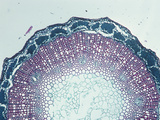 Cross-Section of a Flax Stem (Linum)  LM X20