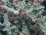 Rockspray Fruit and Leaves (Cotoneaster Horizontalis)