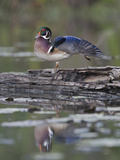 Male Wood Duck Stretching its Wing (Aix Sponsa)  North America