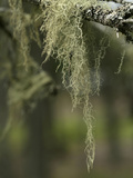 Old Man's Beard Lichen  Acadia National Park  Maine