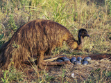 Emu (Dromaius Novaehollandiea) Male at the Nest with Eggs  Queensland  Australia