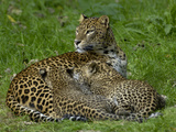 Sri Lankan Leopard (Panthera Pardus Kotiya) Mother and Cubs  Captive