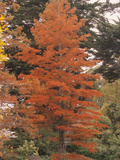 Swamp or Bald Cypress (Taxodium Distichum) in Autumn