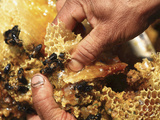 Close Up of Human Hands Working with Wax Cells and Honey Bees in a Hive