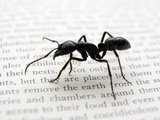 Ant (Dinoponera Australis)