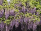 Japanese Wisteria (Wisteria Floribunda) in Flower