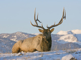 Elk (Cervus Elaphus)  Yellowstone  Wyoming  USA