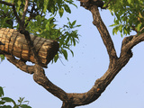 A Tree with a Traditional Cylindrical Hive Made of the Raffia Leaves and Coated with Beeswax