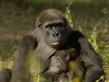 Western Lowland Gorilla (Gorilla Gorilla Gorilla) Mother Breastfeeding Young  Captive