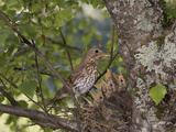Song Thrush (Turdus Philomelos) Feeding Chicks in the Nest  France