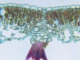 Cross-Section of a Butternut (Juglans) Sun Leaf  LM X90