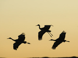 Sandhill Cranes Flying at Dusk (Grus Canadensis)  Bosque Del Apache  New Mexico  USA