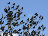 Red-Wing Blackbird Flock Gathering Prior to Night Roost  North America