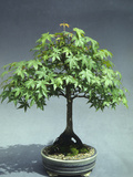 A 30-Year Old Bonsai Japanese Maple (Acer Palmatum)