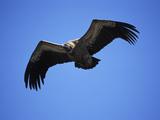 Griffon Vulture (Gyps Fulvus)  Pyrenees  Spain