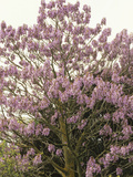Princess or Empress Tree in Flower (Paulownia Tomentosa)