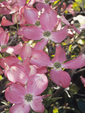 Flowering Dogwood in Bloom (Cornus Florida Forma Rubra)  Cherokee Chief Variety