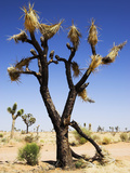 Burnt Joshua Tree (Yucca Brevifolia) Joshua Tree Np Desert Wildfires are Common Occurrences