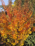Autumn Foliage of the Eurasian Smoketree (Cotinus Coggygria)