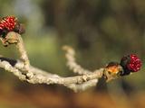 New Buds of Persian Ironwood (Parrotia Persica)